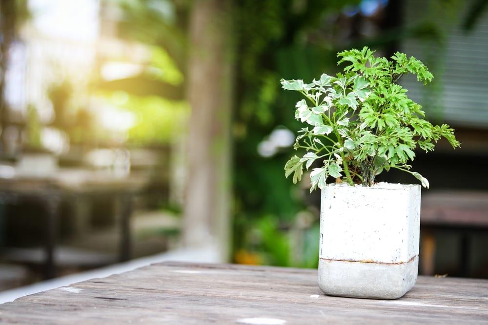 plantas-para-apartamento-arvore-da-felicidade-loft