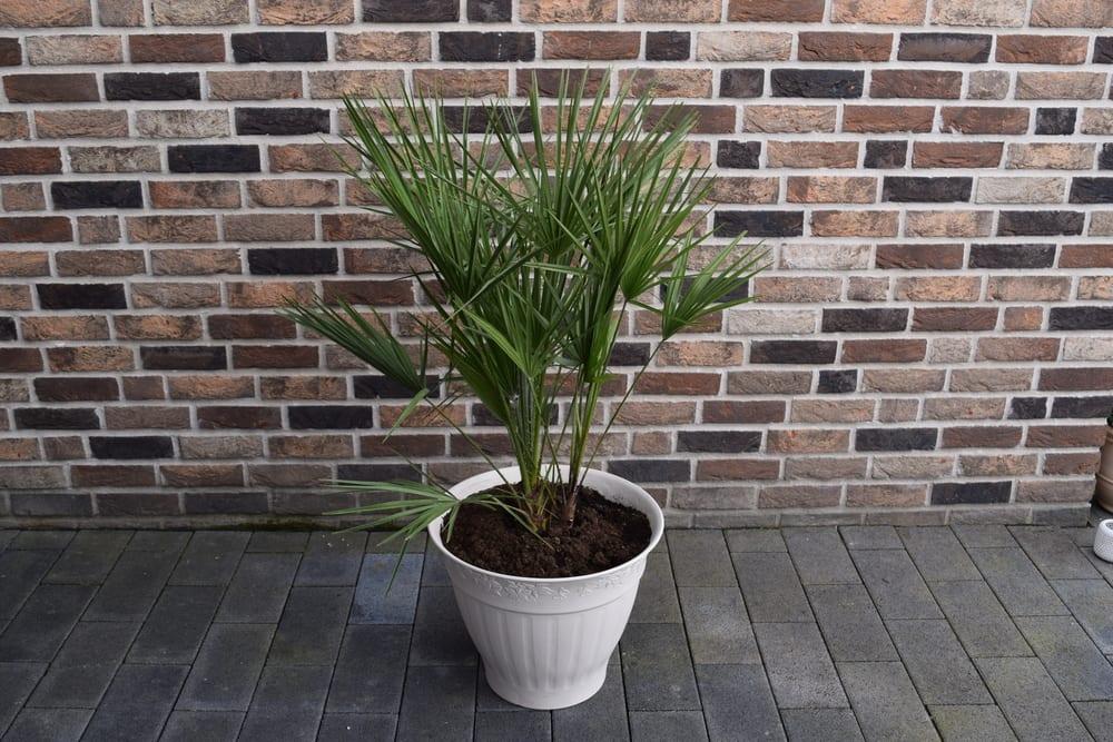 plantas-para-apartamento-palmeira-rafia-loft