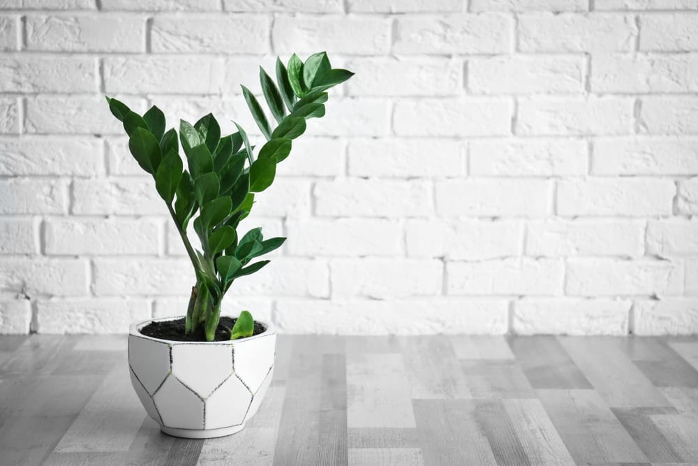 planta-para-apartamento-zamioculca-loft
